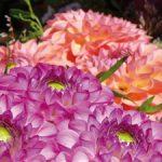 Chrysantemen, leuchtend pink und orange – die Farben des BellZett :)